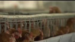 2013-05-22 美國之音視頻新聞: 禽流感令中國養禽業損失65億美元