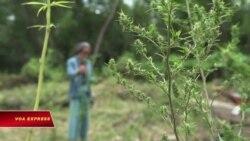Thái Lan hợp thức hóa cần sa y tế