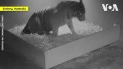 ԱՌԱՆՑ ՄԵԿՆԱԲԱՆՈՒԹՅԱՆ. Երեք վագր է ծնվել Սիդնեի կենդանաբանական այգում
