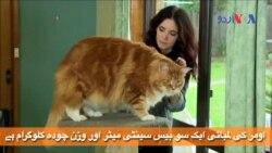 شائد یہ دنیا کی سب سے لمبی بلی ہو