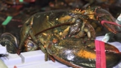 Maine Lobster Lands on Chinese Tables