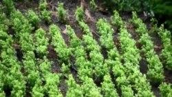 EE.UU. preocupado por aumento de producción de coca en Colombia