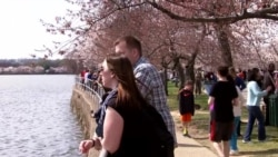 Tourists Converge on Washington to See Cherry Blossoms