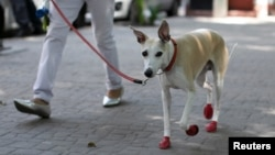 A dog wearing red shoes walks in the park as the coronavirus disease (COVID-19) outbreak continues, in Mexico City, Mexico April 8, 2020. (REUTERS/Carlos Jasso)