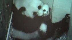 """美國國家動物園幼熊貓取名""""寶寶"""""""