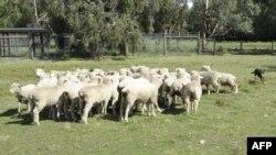 Peternakan domba di Monomeith, 76 kilometer dari Melbourne, Australia. (Foto: Dok)
