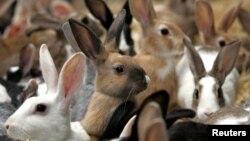 Kelinci, sumber baru daging yang sehat bagi warga Afrika (foto: ilustrasi).