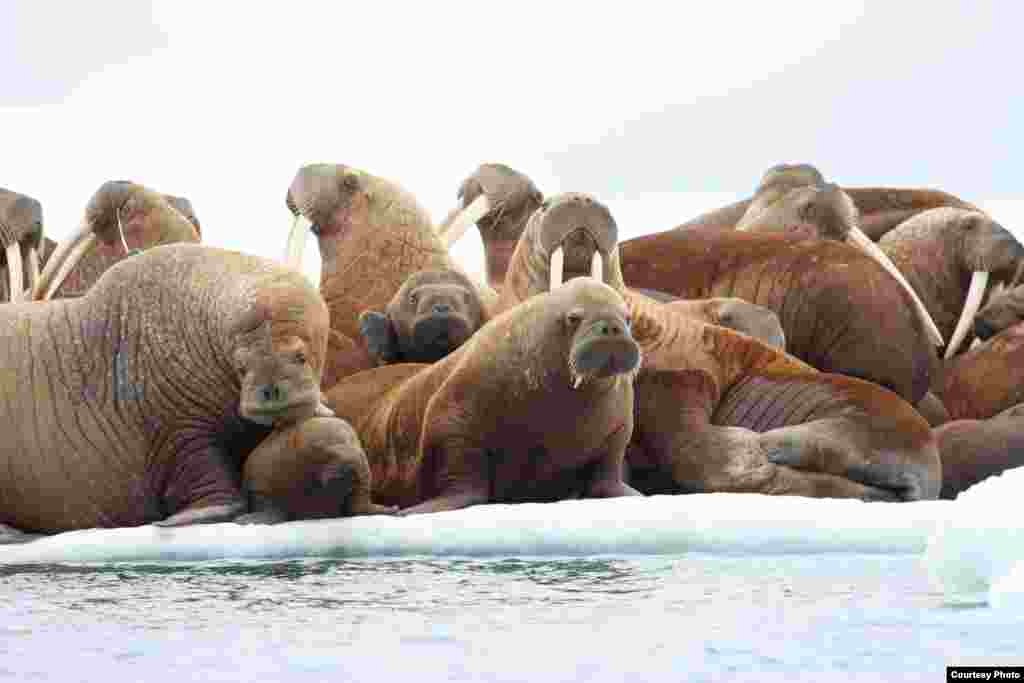 Adult female walruses on ice floe with young in waters of the Eastern Chukchi Sea, Alaska, face the threat of melting sea ice. (S.A. Sonsthagen/USGS)