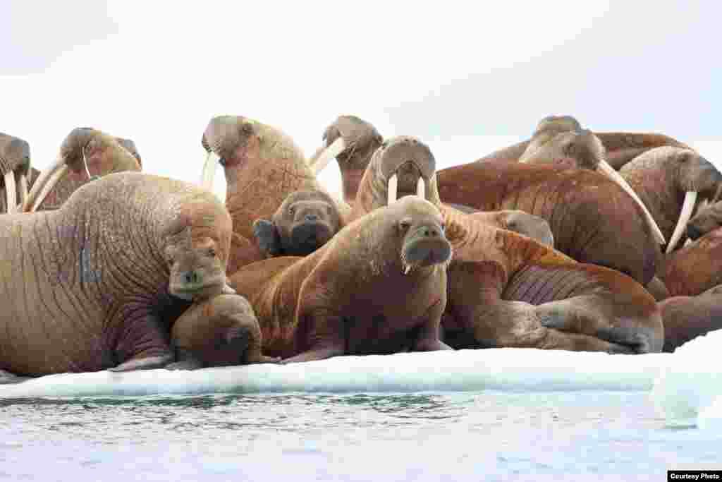 Sekelompok anjing laut di atas es di Laut Chukchi Timur, Alaska, yang terancam pencairan es. (S.A. Sonsthagen/USGS)