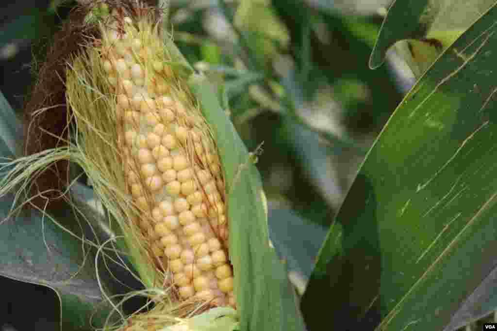 مکئی پاکستان میں خریف کی اہم فصل سمجھی جاتی ہے۔ اس کی پیداوار باقی فصلوں کی نسبت زیادہ ہوتی ہے۔