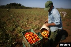 FILE - Retired Veterinarian Oscar Alfonso, 76, picks tomatoes near San Antonio de los Banos in Artemjsa province, Cuba, April 13, 2016.