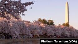 Vašington spomenik za vreme Festivala cvetanja trešanja