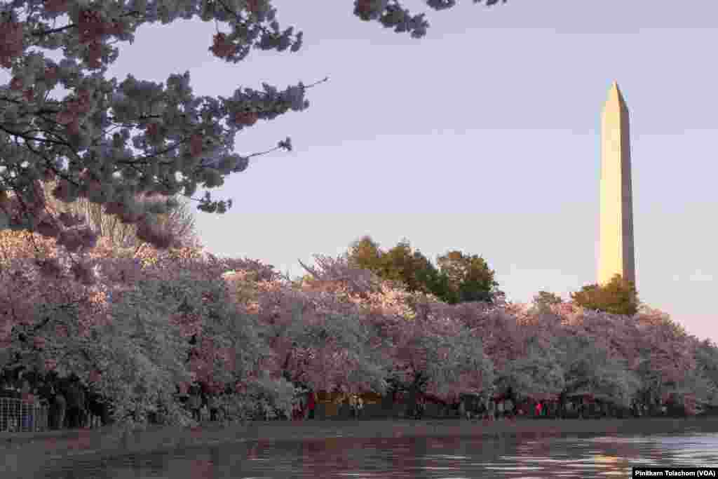 Views of Washington Monument, Cherry Blossoms and Tidal Basin. Washington,DC April 4, 2019.
