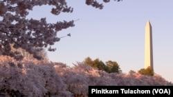 Views of Washington Monument, Cherry Blossoms and Tidal Basin. Washington,DC April 4, 2019.