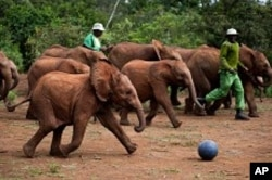 As shown in the IMAX® film Born to be Wild 3D, elephants at the David Sheldrick Wildlife Trust play soccer with their keepers as a form of exercise and enrichment. Photo copyright ©2011 Warner Bros. Entertainment Inc.