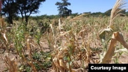 Crops are wilting in most parts of Zimbabwe due to the current dry spell.