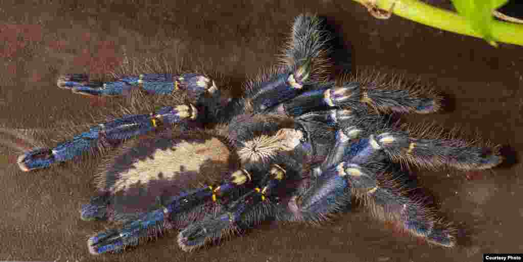 Ornamental tarantulas can be as colorful as tropical birds, a sharp contrast to the fearsome, dark and dangerous creatures many imagine. (© AMNH\R. Mickens)