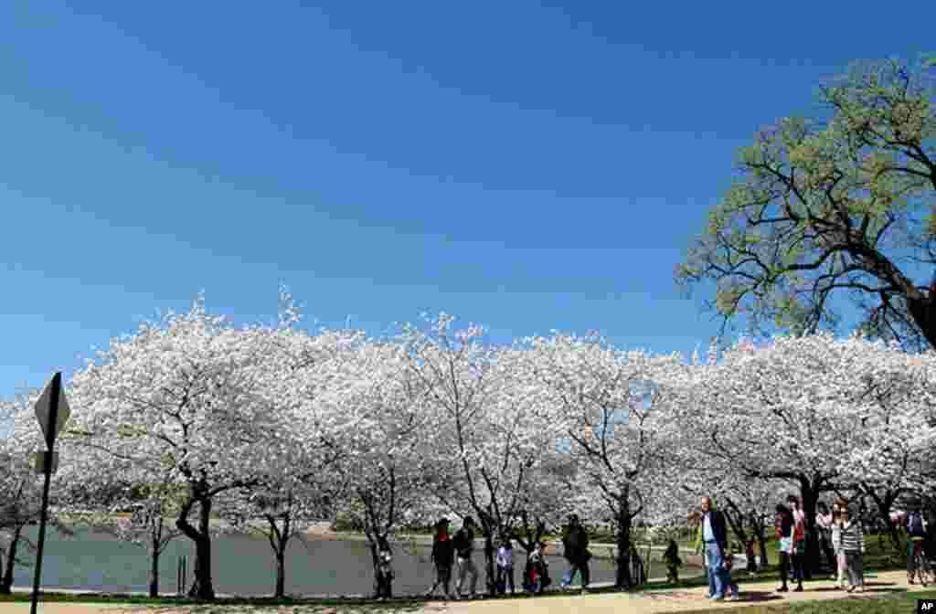 [워싱턴 D.C. 벚꽃 축제] 워싱턴의 봄