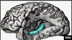 Hippocampus, blok merah di bagian lain otak yang berperan dalam ingatan, juga bisa terganggu akibat stroke.
