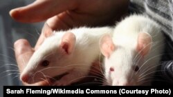 Lab rats such as those pictured here were used to conduct research for the Georgetown University Medical Center study. (Sarah Fleming/Wikimedia Commons)