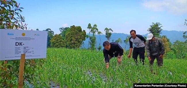 Importir bekerja sama dengan petani di Malang menanam bawang putih. (Foto: Kementan)
