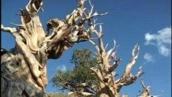 守望光阴的老树-狐尾松