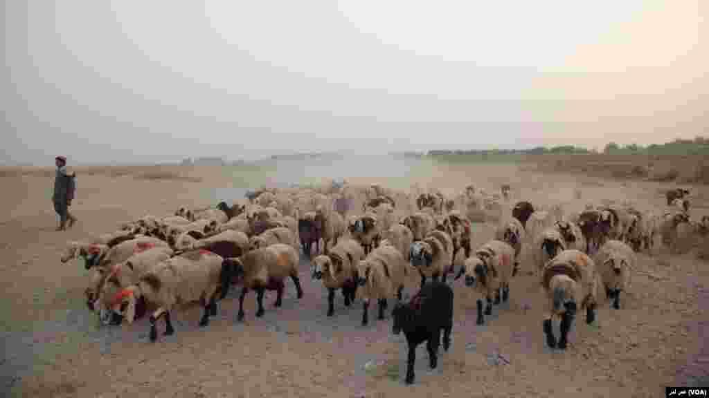 رمۀ گوسفند در دشتهای هلمند