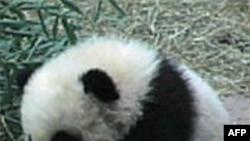 Panda Tai Šan otputovao kući