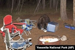 In this 2010 photo provided by Yosemite National Park, an American black bear is seen at a campground.
