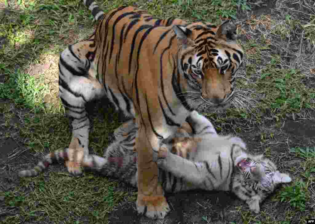 A three-month-old Bengal tiger cub plays with its mother at a zoo in Malang, Indonesia.