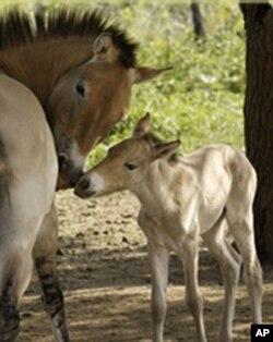 Kobila i ždrijebe Przewalskog konja