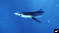 Les requins, particulièrement menacés par la surpêche (AP Photo/National Marine Fisheries Service, File)