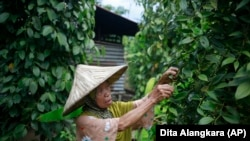 A farmer picks peppercorns at a village which is feared will be affected by the expansion of Asia Pulp & Paper, a company part of the Indonesian corporation Sinarmas, in West Bangka, Indonesia.