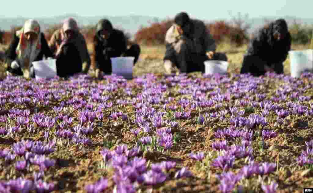 برداشت زعفران از زمین های زیر کشت در قاینات در خراسان جنوبی