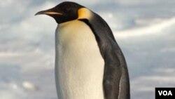 Seekor penguin besar Antartika dari jenis Emperor yang juga dijuluki 'Happy Feet'.