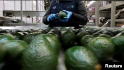 Employees remove stalks from avocados in the Global Fruit Packing Company in Uruapan, in Michoacan state, Mexico, Jan. 31, 2017.