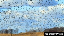 Spectacular Starlings