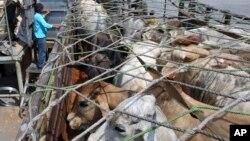 Seorang pekerja di pelabuhan Tanjung Priok, Jakarta memasukkan sapi-sapi yang baru datang dari Australia ke dalam truk (foto: dok). Indonesia dan Australia setuju untuk meningkatkan jumlah impor sapi dari Australia.