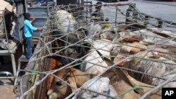 Ternak yang diimpor dari Australia diangkut ke atas truk di pelabuhan Tanjung Priok, Jakarta Utara. (Foto: Dok)