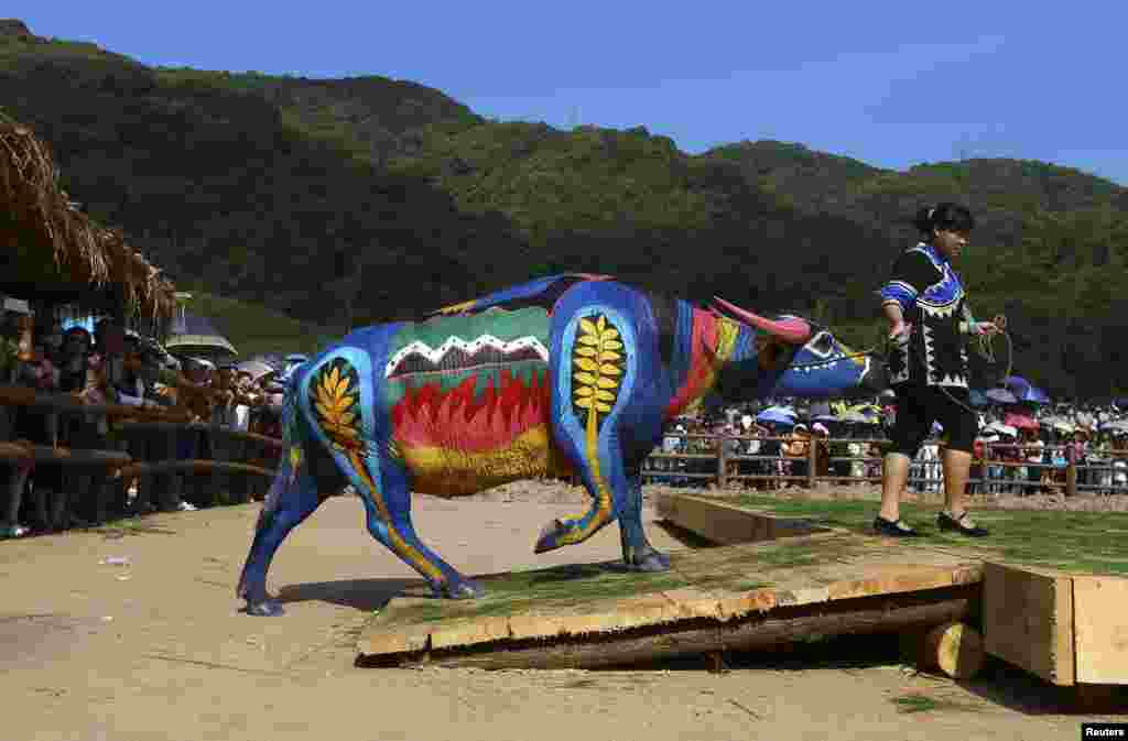 A woman leads her painted buffalo onto a stage during a buffalo bodypainting competition in Jiangcheng county, Yunnan province, China. Artists from eight countries compete for a 100,000 yuan ($16,042) prize reward during the competition, according to local media.
