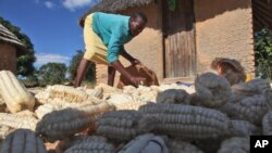 A woman gathers maize grain she harvested in Epworth, on the outskirts of Harare, Zimbabwe. (file)