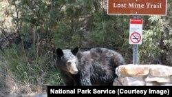 Un ours brun près de Lost Mine Trail, dans le parc national de Big Bend, au Texas, États-Unis.