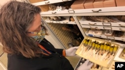 Moe Flannery, senior collections manager for ornithology & mammalogy at the California Academy of Sciences, holds a tray containing Bachman's warblers in their specimen collection in San Francisco, Friday, Sept. 24, 2021. (AP Photo/Haven Daley)