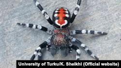 Loureedia Phoenixi Spider