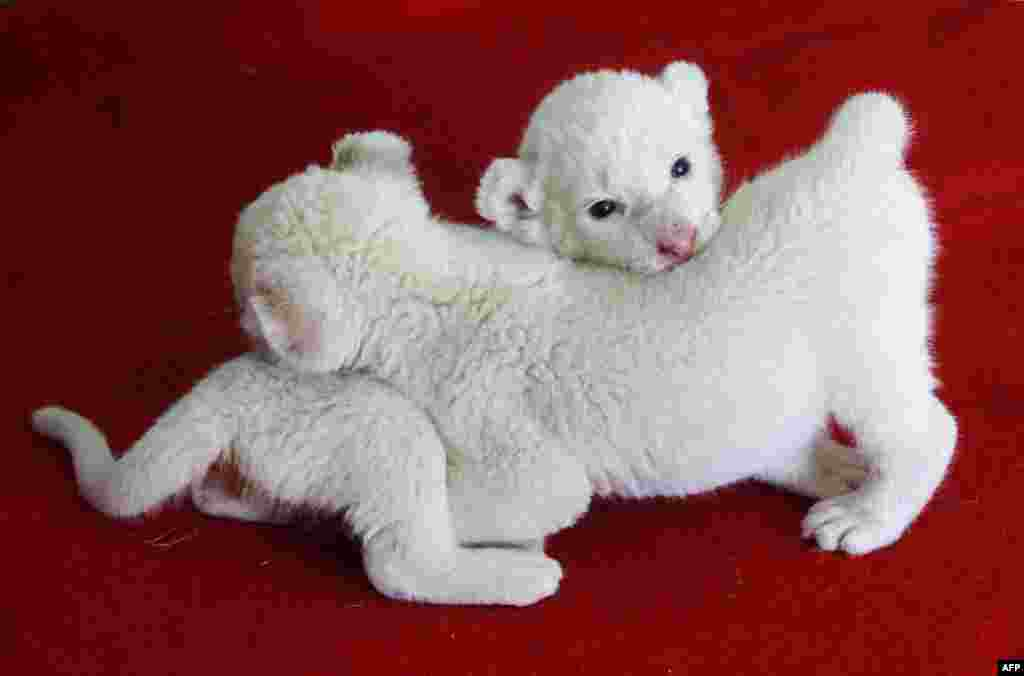 Three-week-old white lion cubs play with each other in their enclosure in Hangzhou zoo in Hangzhou, east China's Zhejiang province.