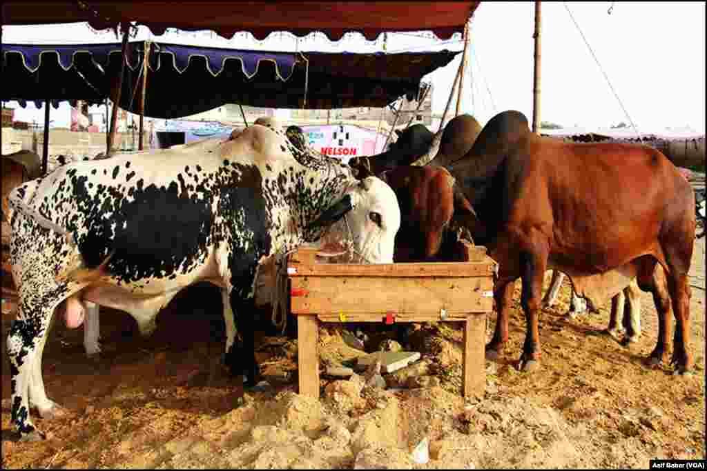 کراچی میں مختلف علاقوں میں عارضی مویشی منڈیاں قائم ہوگئیں