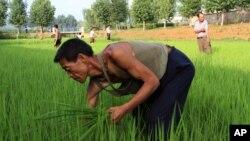 지난해 7월 북한 황해도 소흥군의 한 논에서 농부들이 제초 작업을 하고있다. (자료사진)