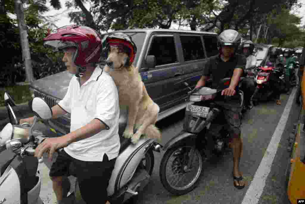 Handoko Njotokusumo and Ace, a golden retriever, ride through traffic during their weekend joy ride on a motorcycle in Surabaya, eastern Java island, Indonesia.