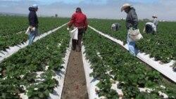 ພວກຊາວສວນ ພາກັນຫລົກຫຍ້າ ຢູ່ຕາມຄູປູກ strawberry ຢູ່ສວນແຫ່ງນຶ່ງ ນອກເມືອງ Salinas ລັດຄາລິຟໍເນຍ