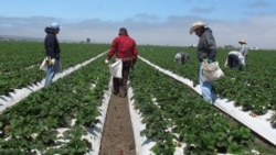 Farmworkers weed strawberry rows on a field outside Salinas, California